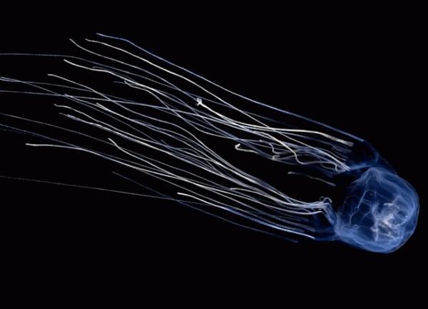 медуза морская оса