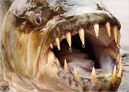 рыба голиаф